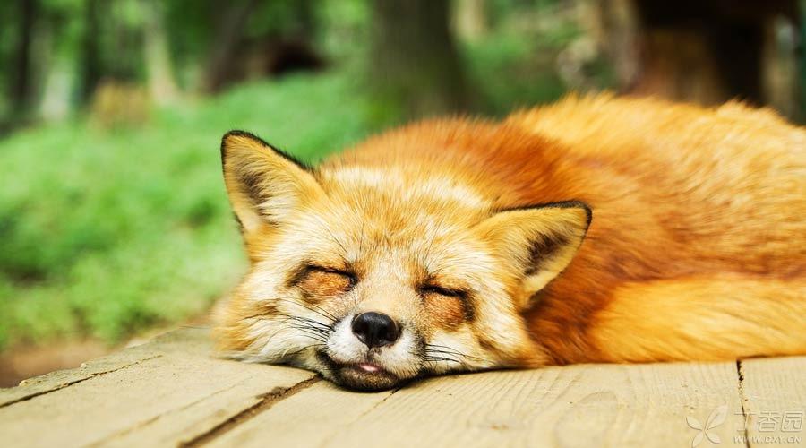 睡觉狐狸900.jpg