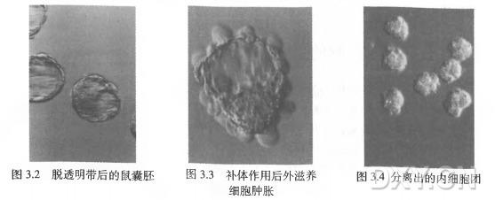 图 3 . 2 脱透明带后的鼠囊胚 图 3 . 3 补体作用后外滋养 图 3.4分离出的内细胞团 细胞肿胀
