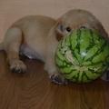 吃瓜的金毛