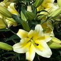 野百合lily